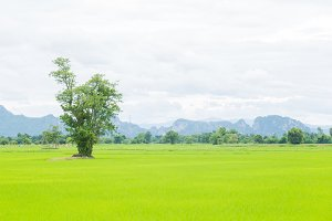 Tree in rice fields