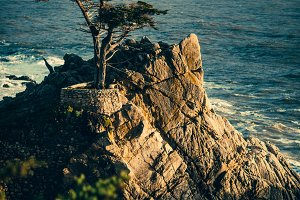 California Lone Cypress Tree