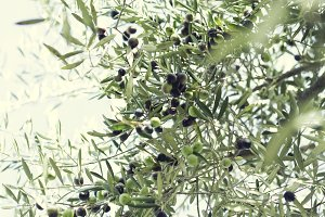Olives in the Tree