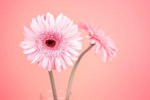sweet pink  Gerbera flower