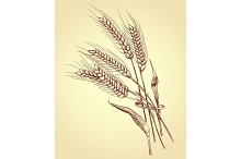Hand drawn ears of wheat with grains, bakery sketch vector illustration