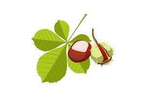 Chestnut isolated on white background. Vinous maroon fruit i