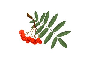 Rowan with green leaves and red berries isolated on white background.
