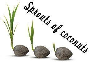 Sprouts of coconuts