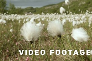 Cotton field in the nature