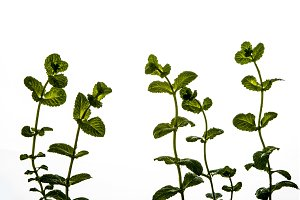 Mint plant isolated