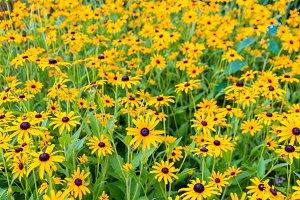 Meadow of Black Eyed Susan flowers