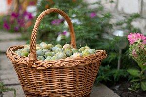 green ripe plum in a wicker basket in the garden