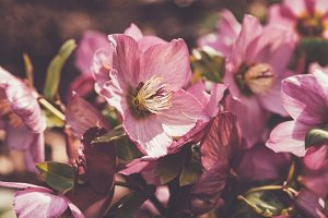 iseeyouphoto winter flower hellebore