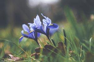 iseeyouphoto blue iris