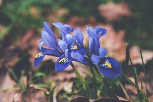 iseeyouphoto blue iris 2
