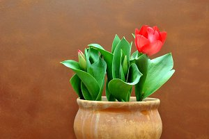 red tulip on pot