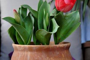 red tulip on pot decoration