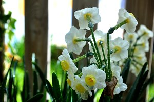 White daffodil flowers and drops