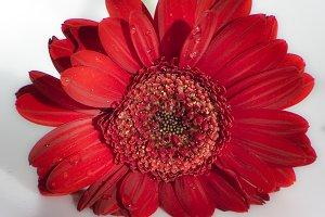 Red wet flower