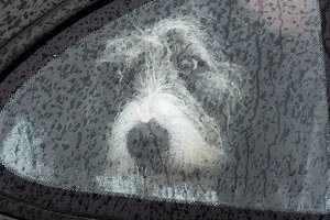 Sad dog in car