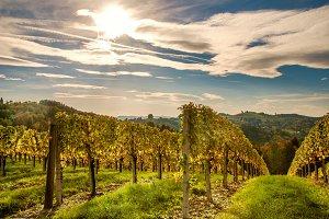Wineyards in Sunlight