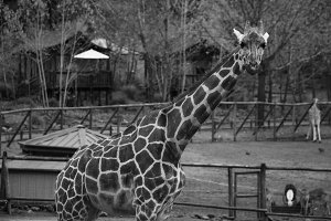 Black and White Giraffe 3