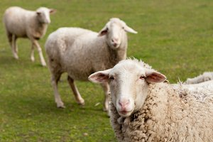 Sheeps in the landscape