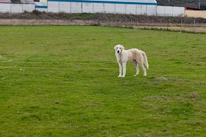 Big white Labrador dog