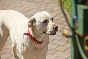 White dog with red collar