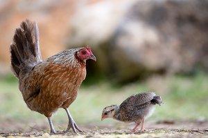 Chicken on Kauai