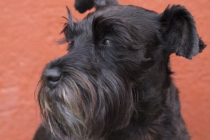 Black schnauzer dog on background