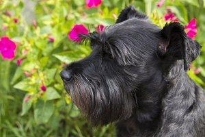 Black schnauzer dog on background