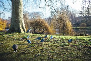 Birds at St James Park London