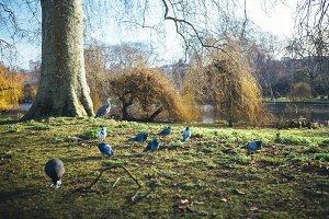 Birds at St James Park London
