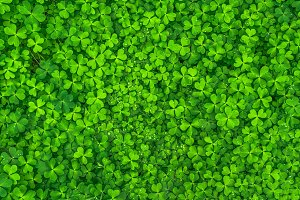 Field of Clovers Background Image