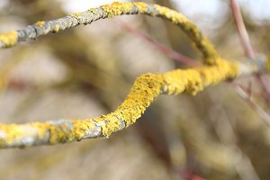 natural background, Lichen (moss) yellow on a tree branch.