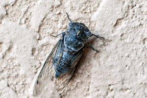 Large Cicada