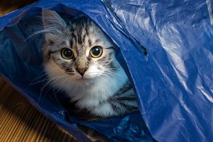 Grey cat in blue bag