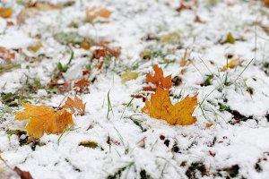 Autumn yellow leaves under snow