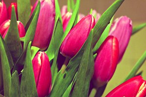 pink flowers tulips background