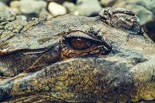 Eye of Alligator