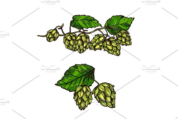 Hops Plant Branches Flowers And Vector Cones
