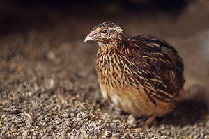 Brown male adult quail