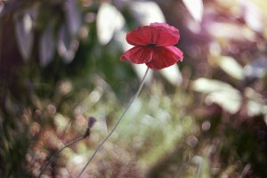 Red poppy on beautiful background