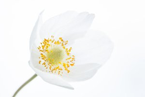 Beautiful White Spring Flower. Soft image.