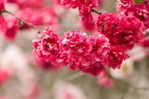Pink Flowering Tree II