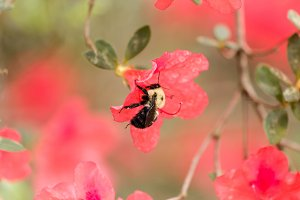 Bumble Bee on Azalea Flower