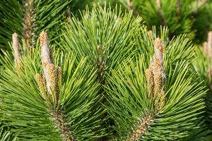 New growth on pine tree