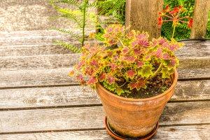 Variegated geranium in clay pot