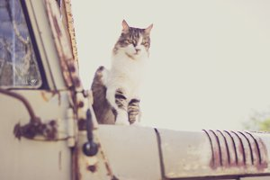 Cat on Old Jeep