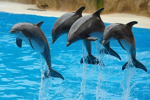Dolphins playing in the pool