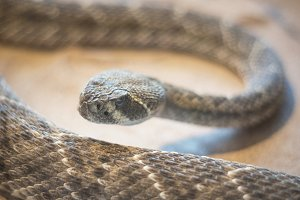 Rattlesnake close up view