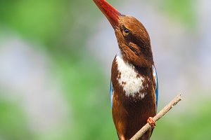 White-throated Kingfisher. Bird