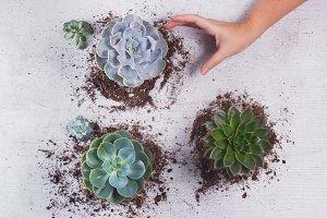 Choosing Succulent